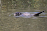 Otter, River Clyde at RSPB Baron's Haugh