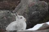 Mountain Hare, Coire an Lochan-Cairngorm, Highland