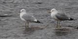 Common Gull, Sallochy Bay-Loch Lomond, Clyde