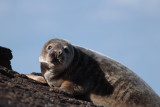 Grey Seal, Fife Ness