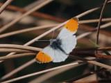 Orange-tip, RSPB Loch Lomond, Clyde