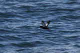 Black Guillemot, north of Svalbard