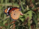 Butterfly sp, Dalyan, Turkey