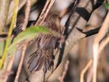 Lanceolated Warbler, Boddam, Shetland