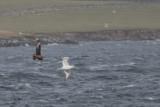 Bonxie chasing a Gannet, Bluemull Sound ferry, Shetland