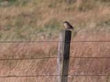 Brown Shrike, Voe, Shetland