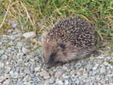 Hedgehog, Norwick-Unst, Shetland
