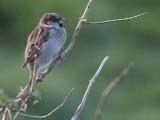 House Sparrow, Spiggie, Shetland
