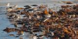 Various waders, Lunda Wick-Unst, Shetland