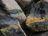 Wood Warbler, Haligarh-Unst, Shetland