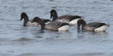 Pale-bellied Brent Goose