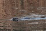 Otter, Endrick Water, RSPB Loch Lomond