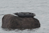 Grey Seal, Ardmore Point, Clyde
