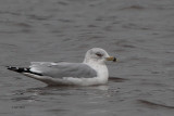 Ring-billed Gull, Strathclyde Park, Clyde