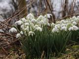 Snowdrops, Balfron