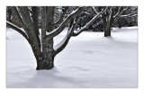 Bradford Pear,  Winter