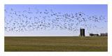 Canada Geesse in flight