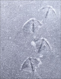 Canada Goose prints in soft ice