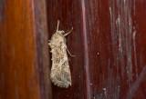 moth  9530.jpg