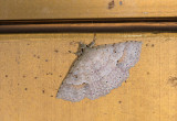moth  1510.jpg