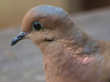 mourning_dove