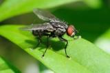 Flesh fly (Kødflue / Sarcophagidae sp.)