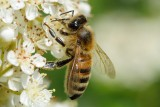 Honey Bee (Honningbi / Apis mellifera)
