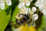 Mining bee (Andrena nitida)