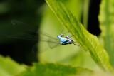 Azure Damselfly (Hestesko vandnymfe / Coenagrion puella)