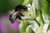 Shrill Carder-bee (Skovhumle / Bombus sylvarum)