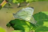 Small White butterfly (Lille kålsommerfugl / Pieris rapae)