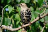 Starling (Stær / Sturnus vulgaris)