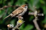 Tree Sparrow (Skovspurv / Passer montanus)