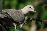 Collared dove (Tyrkerdue / Streptopelia decaocto)