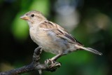 House Sparrow (Gråspurv / Passer domesticus)