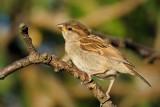 House Sparrow (Gråspurv / Passer domesticus) (updated:2014-10-06)