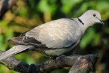 Collared dove (Tyrkerdue / Streptopelia decaocto) (updated:2014-10-06)