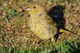 Greenfinch (Grønirisk / Carduelis chloris) (updated:2008-10-22)