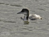 COMMON LOON - GAVIA IMMER - PLONGEON IMBRIN
