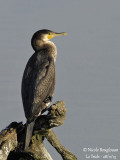 Great Cormorant juvenile