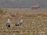 Common Cranes pair