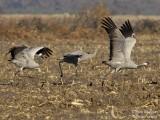 Common Cranes family