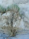 Oyat - Ammophila arenaria  8508