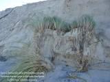 Oyat - Ammophila arenaria  8509