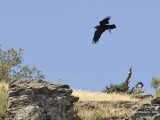 COMMON RAVEN - CORVUS CORAX - GRAND CORBEAU