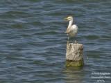 8620 Cattle Egret