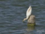 8619 Cattle Egret