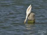 8617 Cattle Egret