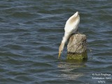 8614 Cattle Egret