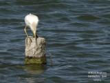 8612 Cattle Egret